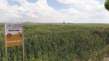 Niğde'de yerli buğday ekimlerinden yüksek verim alındı