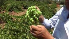 Gaziantepli çiftçi üzüm hasadı için gün sayıyor