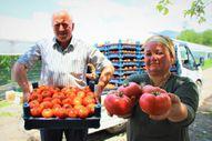 Amasya'da domates hasadı başladı