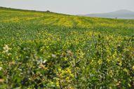 Kars'ın tarlalarını sarı çiçekler kapladı