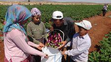 Kilis'te patlıcanın kilosu tarlada 2 liradan satılıyor