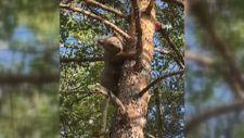 Gümüşhane'de yavru ayı orman işletme ekiplerini görünce ağaca tırmandı