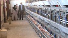 Kahramanmaraş'ta Bakanlıktan, tavukları ölen girişimciye 5 bin tavuk hediyesi