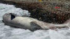Datça'da 3 metre boyundaki ölü köpek balığı sahile vurdu