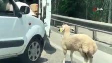 İstanbul'da onlarca koyunu kapalı bagajda taşıdı