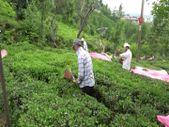 ÇAYKUR ilk sürgünde üreticiden 314 bin 500 ton yaş çay aldı