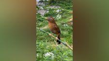 Kızıl karınlı ardıç kuşunun muhteşem ötüşü