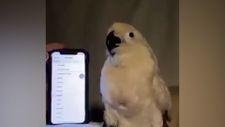Bildirim sesine uygun hareket eden papağan