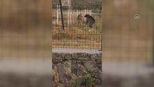Kars'ta bozayıya kafa tutan keçi kurbanda kesilmeyecek