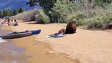 ABD'de ayılar plaja indi