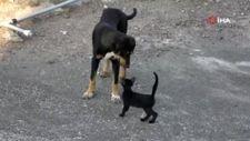 Osmaniye'de yavru kedi ile köpeğin gülümseten dostluğu
