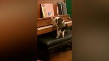 Piyano resitali sergileyen kedi