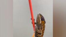 Bukalemunun renk değiştirme hızı