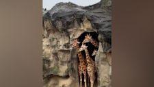 Yağan yağmuru izleyen zürafa ailesi
