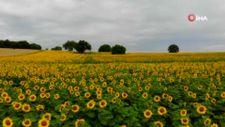 Samsun'da uçsuz bucaksız tarlalar sarıya boyandı