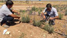 Terörden arındırılan Şuruç'ta ilk defa lavanta yetiştirildi