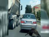 Ankara'daki sürücü, ölü ineği aracın arkasında sürükledi