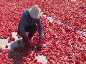 Ege ovalarında kuru domates mesaisi