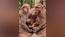 Yavrularını emzirirken içi geçen anne maymunlar