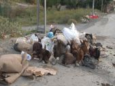 Arnavutköy'de kurbanlık hayvanların kafalarını yola attılar