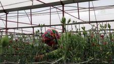 Denizli'den çiçek ülkesi Hollanda'ya karanfil satıyor