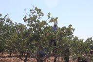 Kilis'te fıstık boz hasadı başladı