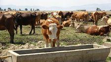 Muş'ta alınan önlemler sayesinde hayvanlarda hastalığa rastlanmıyor
