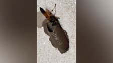 Yuvasını hazırlayan çamur eşek arısı