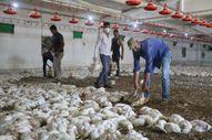 Malatya'da havasız kalan 35 bin tavuk telef oldu