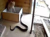Kobra yılanı ile kedi karşı karşıya