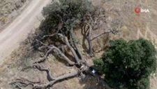 Kayseri'deki '7 kardeş' ağacına rivayetler nedeniyle kimse dokunmuyor