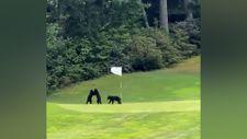 Golf sahasında oyun oynayan yavru ayılar