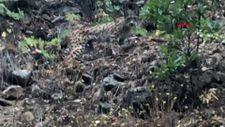 Tunceli'de 'orman hayaleti' diye de anılan vaşak görüldü