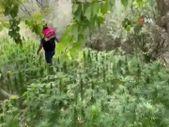 Malatya'da kayısı bahçesine hint keneviri eken şahıs yakalandı