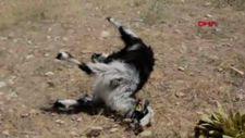 Antalya'da tarla etrafına dökülen gübreyi yiyen 25 keçi öldü
