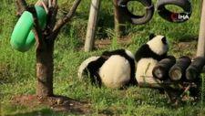 Çin'de birbiriyle oynayan pandalar, ilgi topladı