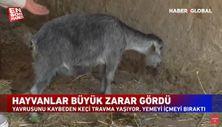 Yangında yavrusunu kaybeden keçi, yemeden içmeden kesildi
