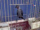 Bursa'da yuvasından uçamayan yavru kargaları besliyorlar