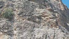 Malatya'da dağ keçilerinin tırmanma yolculuğu