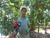 Alanya'da avokado bahçelerine hırsız dadandı