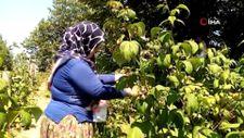 İnegöl'de yetiştirilen Polka ahududusunun kilosu 45 lira