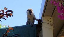 Ankara'da hayvanat bahçesinden maymun kaçtı