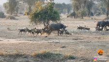 Afrika'da vahşi köpek sürüsü yetişkin bufaloyu avlamayı başardı