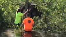 ABD'de kasırga sonrası bir inek, ağaca asılı kaldı