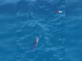 Antalya'da fok balığının ahtapot avı