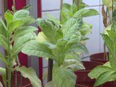 Antalya'da domates üretimini olumsuz etkileyen virüse karşı dayanıklı yerli tohum geliştirildi