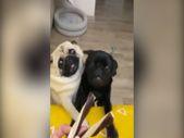 Ödül maması için birbirlerini iten köpekler