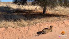 Ağacın arkasına saklanarak avına yaklaşan leoparın kolay avı