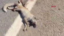 Şanlıurfa'da mahallelinin beslediği tilkiye araba çarptı