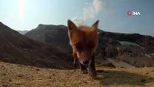 Rusya'da bir tilki yanardağı görüntüleyen kamerayı çaldı